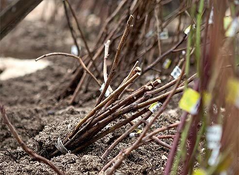Как посадить виноград черенками и Хранение в прикопе