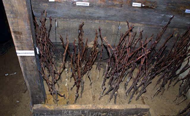 Как посадить виноград черенками и Хранение в подвале