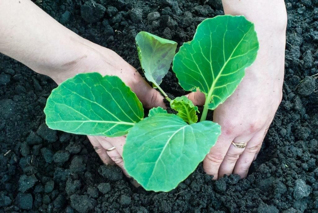 Технология выращивания ранней капусты 25