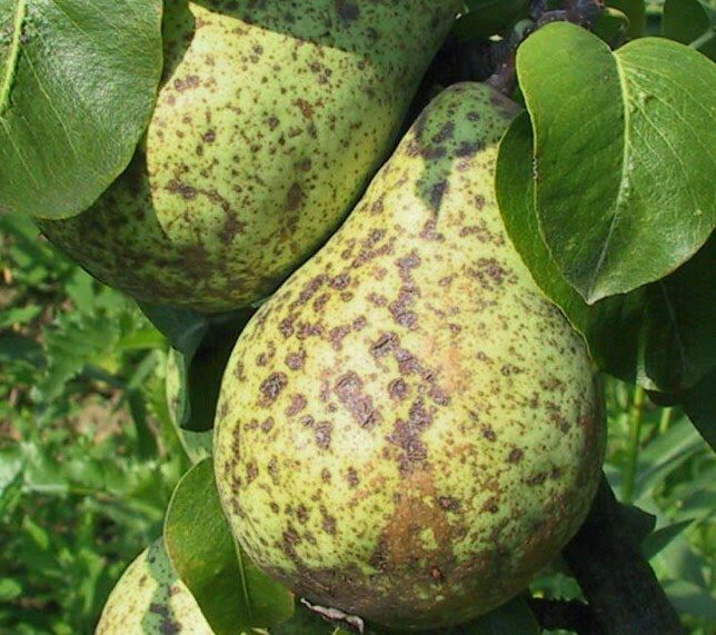 Груша весной Плоды пораженные паршой
