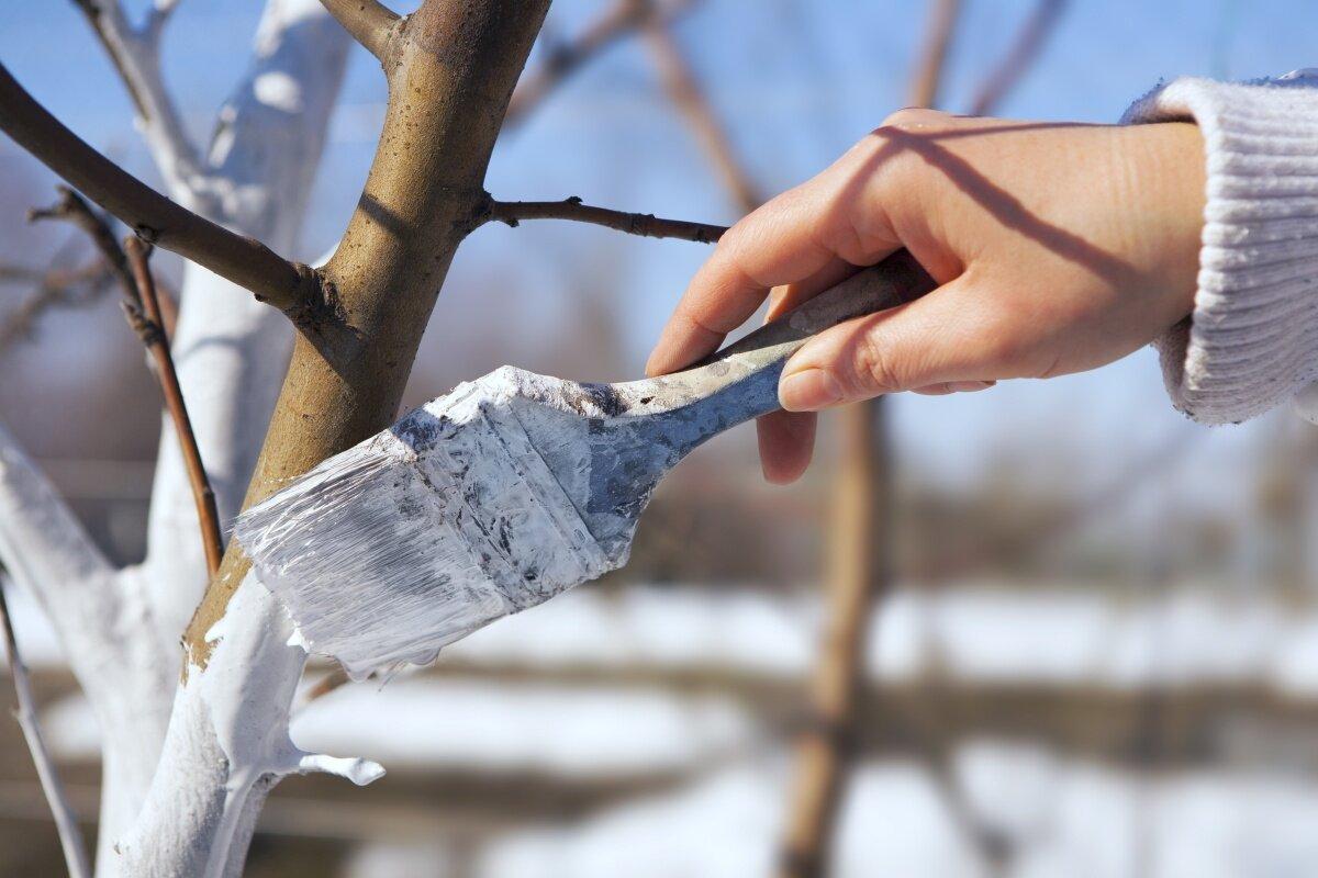 Побелка для деревьев как сделать 377