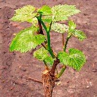 Как посадить виноград черенками