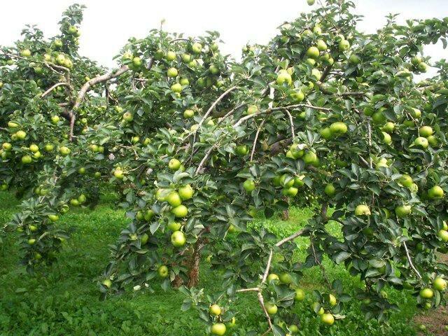 второй цикл развития яблони