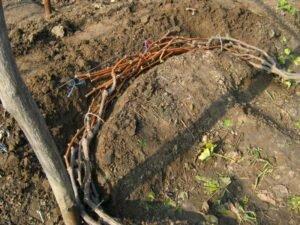 ров для укрытия винограда