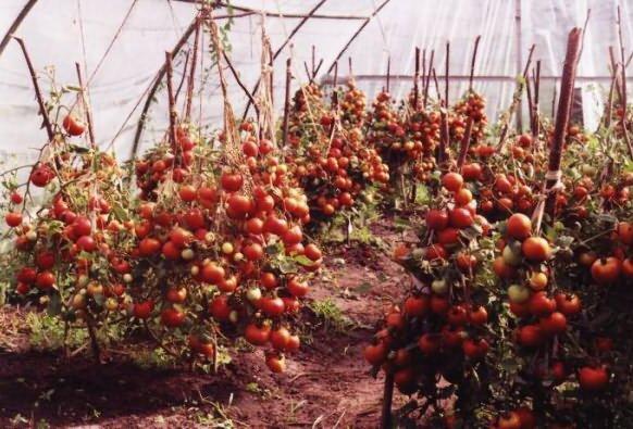 Выращивание помидоров в теплице из поликарбоната 6
