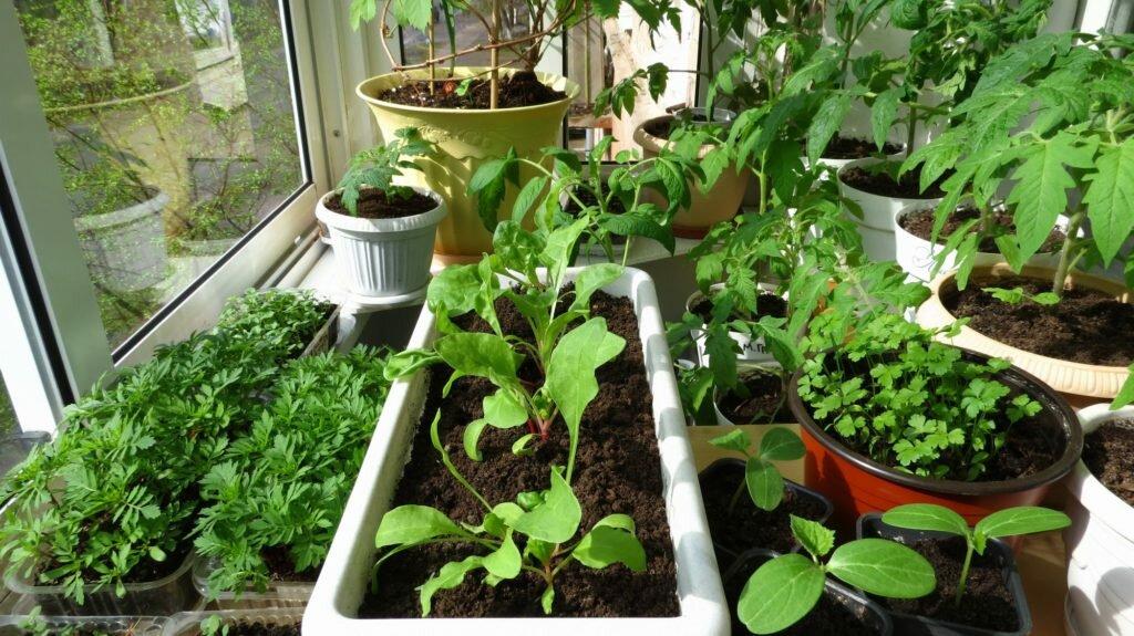 зелень выращивание редиса на подоконнике