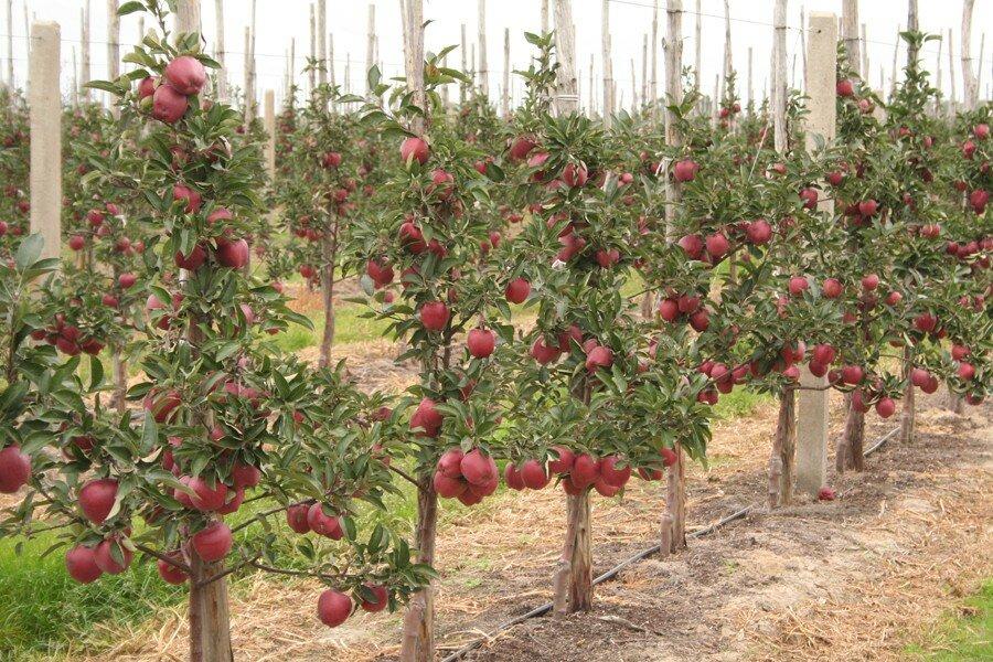 яблони из семян