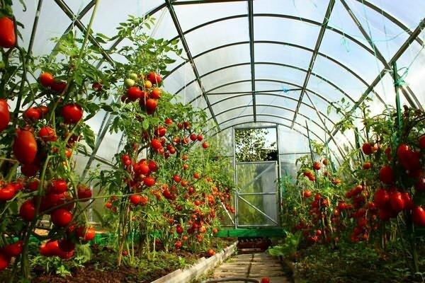 высокорослые сорта томатов