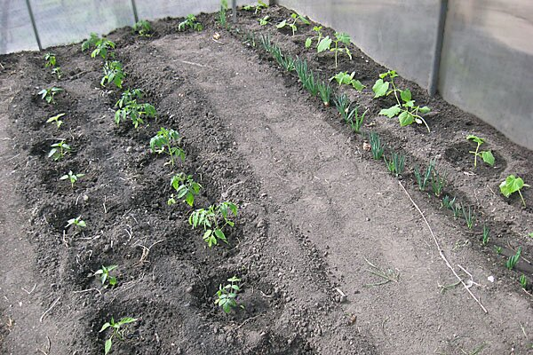 Когда высаживать томаты на рассаду в 2020 Рассада в теплице