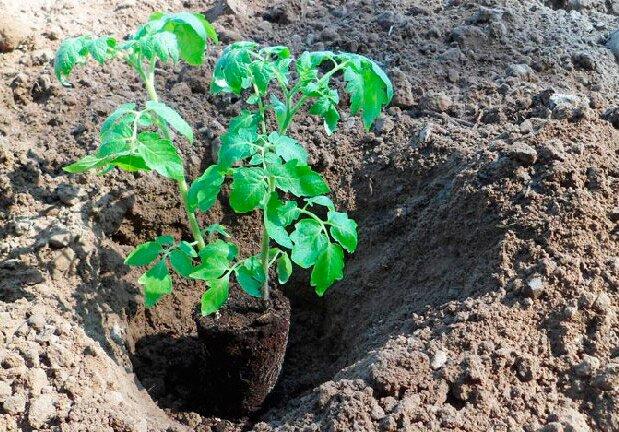 Когда высаживать томаты на рассаду в 2020 Посадка спаренными рядами
