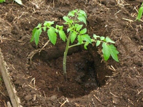 Когда высаживать томаты на рассаду в 2020 Готовая лунка
