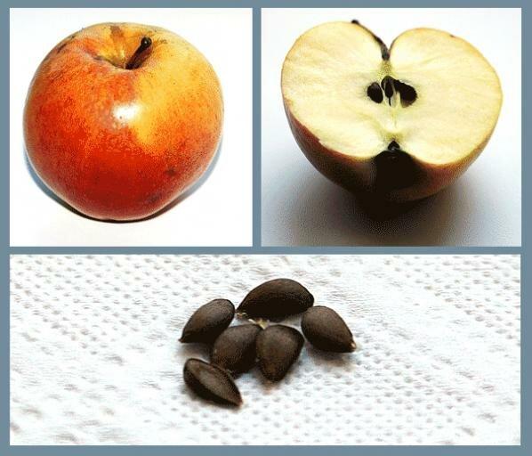 Семечки яблок