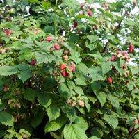 выращивание малины на даче