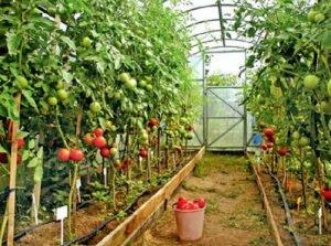 высокорослые томаты в теплице