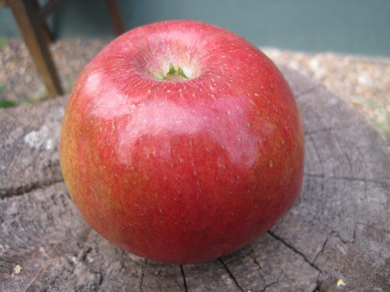 яблоко сорта свит 16