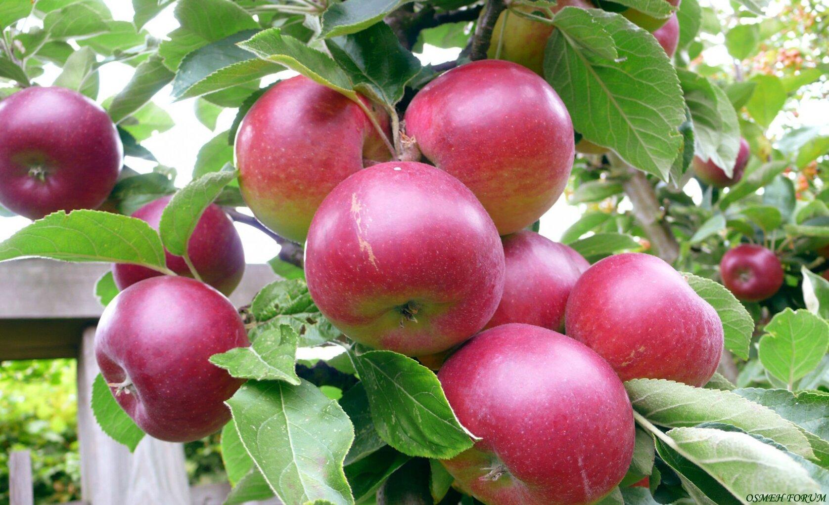 яблоки сорта легенда