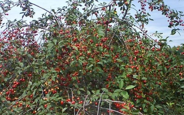 дерево вишни молодежной