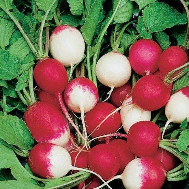редис розово-красный