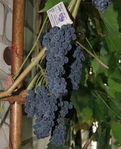 грозди винограда маркетт