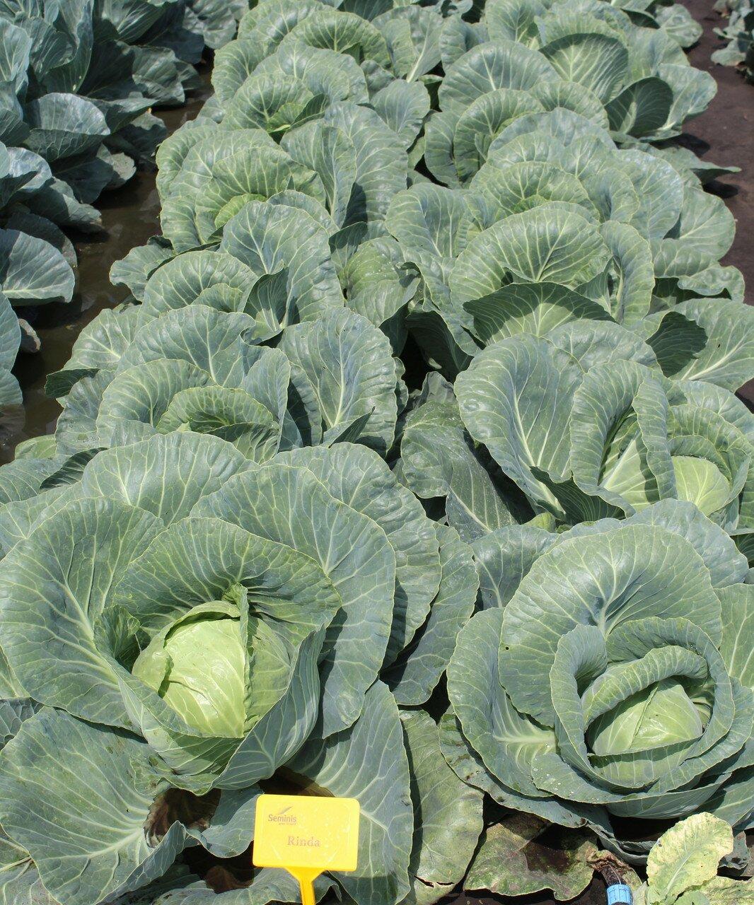 выращивание капусты ринда