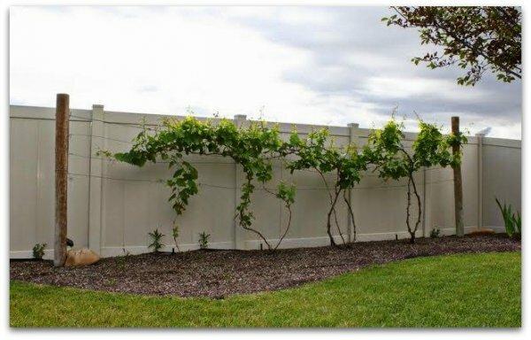 выращивание винограда маркетт