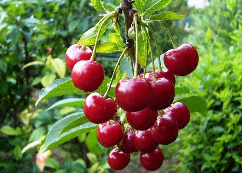 ягоды вишни молодежной
