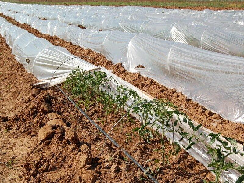пленочное укрытие томатов