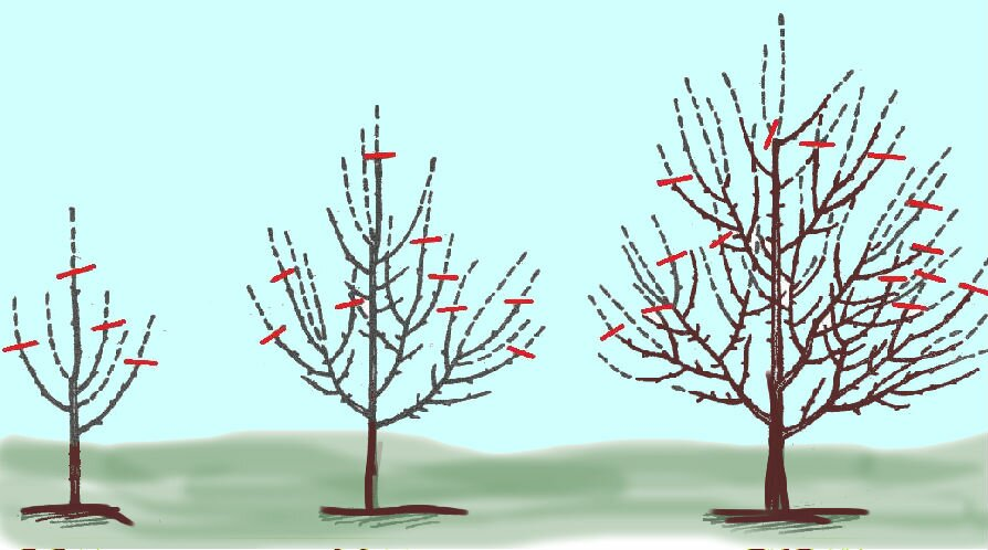 как обрезать яблони осенью схема фото