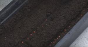 посадка семян баклажан