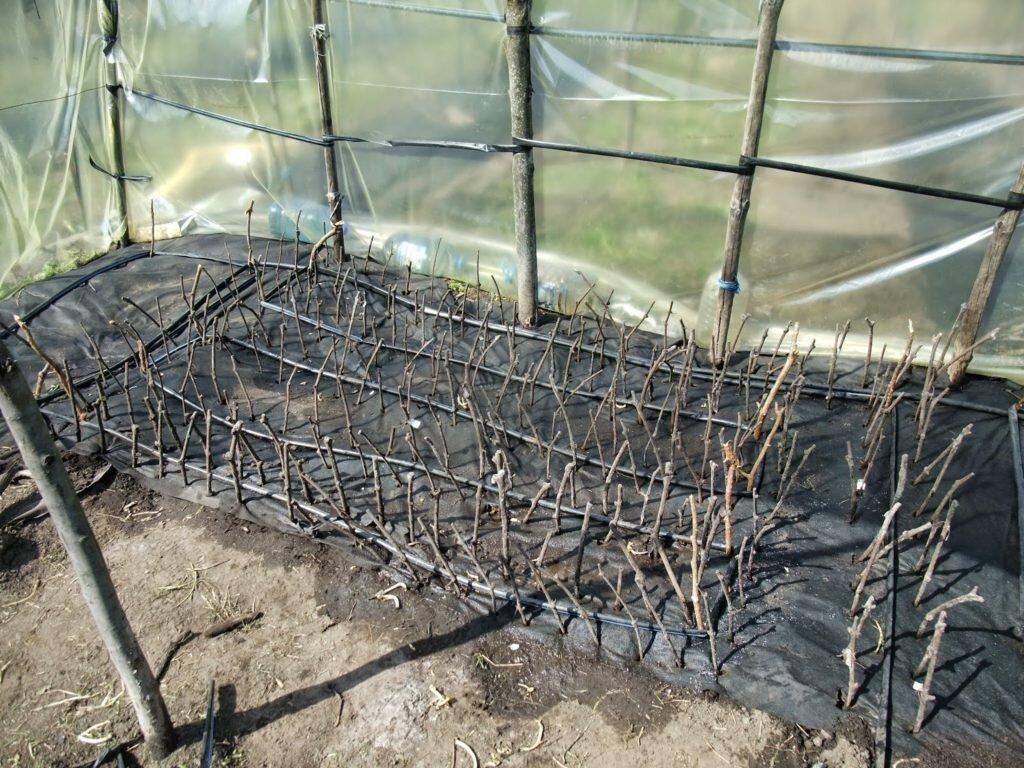 Как сажать виноград школка для черенков винограда