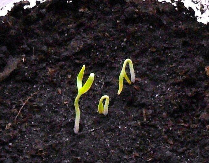 всходы семян баклажан