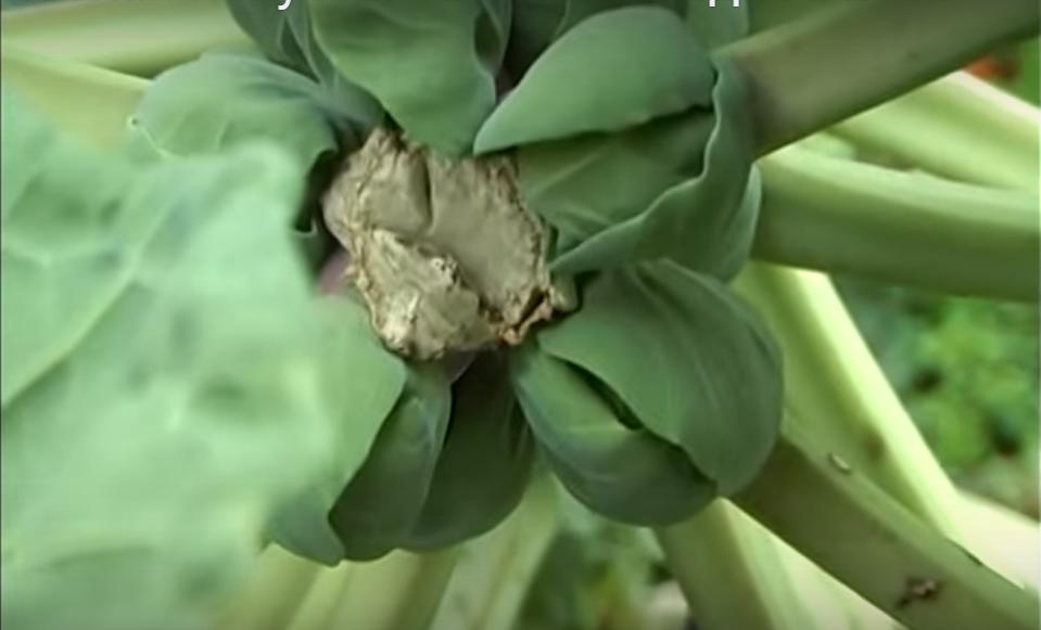 прищипывание брюссельской капусты
