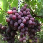 виноград эверест