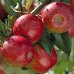 яблоня свит 16