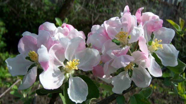 цветы яблони семеренко