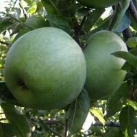 яблоня семеренко