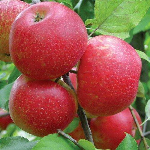 плоды яблони хани крисп