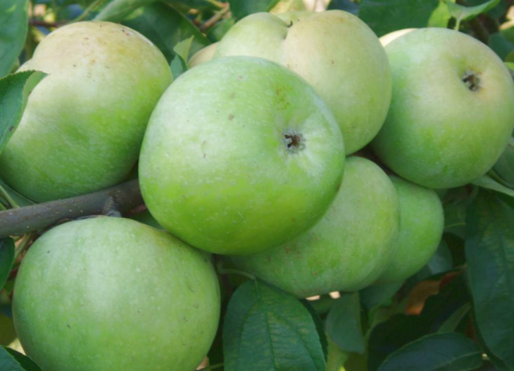 плоды яблони семеренко