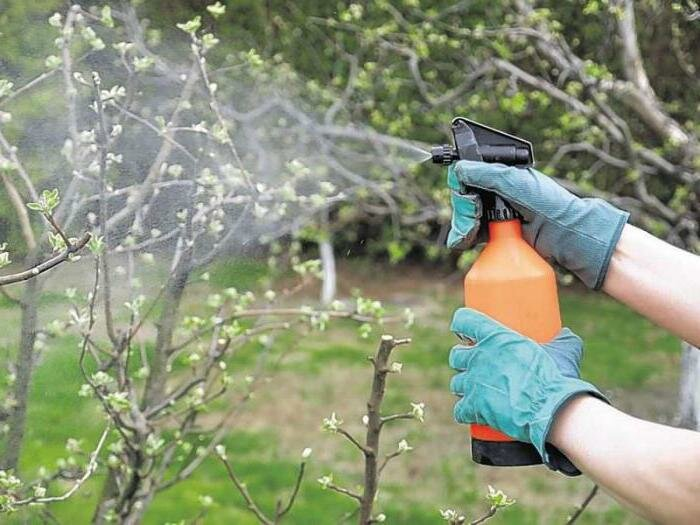 обработка яблони хани крисп