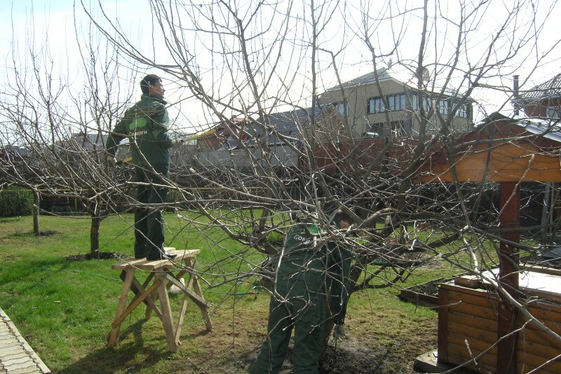 уход за яблоней семеренко