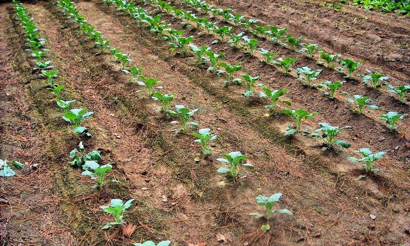 Как правильно сажать капусту в открытый грунт 44