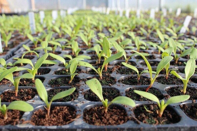 выращивание свёклы рассада