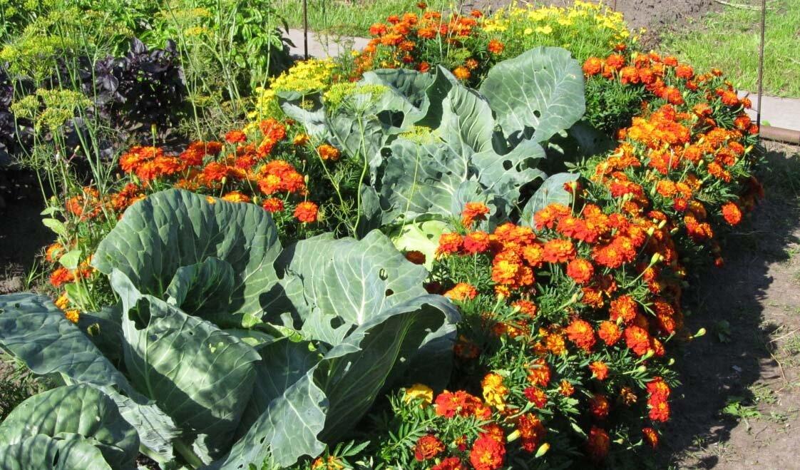 Что посадить рядом с капустой? - Магия растений