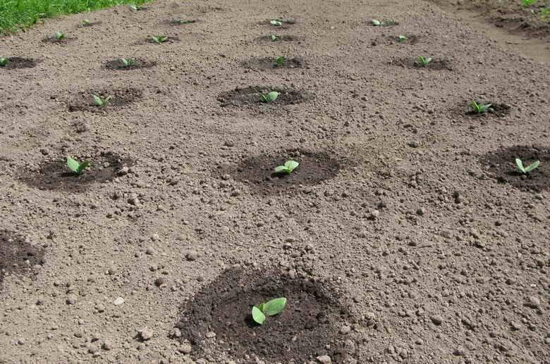 безрассадный метод выращивания тыквы