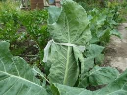 притенение завязи цветной капусты