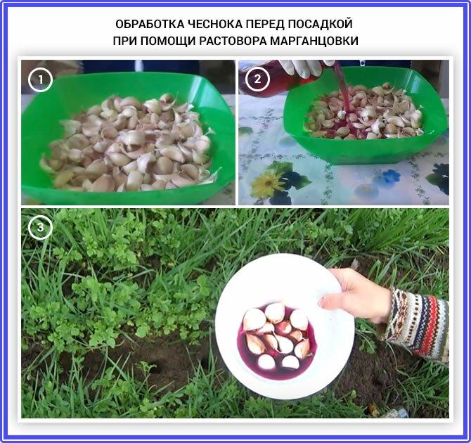 подготовка семян чеснока к посадке