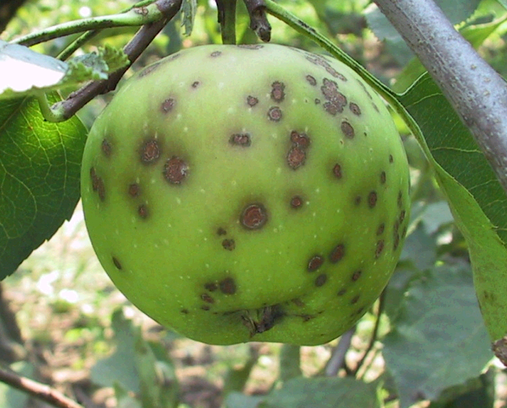 парша на плодах яблонь