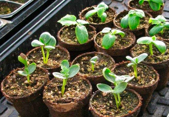 Как сажать рассаду на арбузы и 250