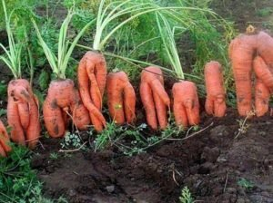 плоды моркови