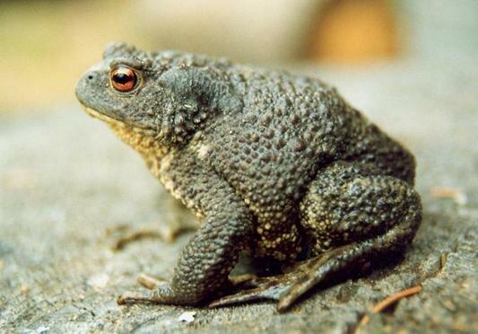 серые жабы от слизней